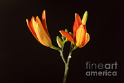 Monocotyledon Prints - Tiger Lily Flower Opening Part Print by Ted Kinsman