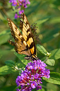 West Virginia Prints - Tiger Swallowtail Print by Road  Mosey