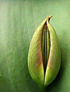 Sweating Photo Prints - Tulip Print by Odon Czintos