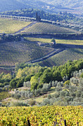 Chianti Vines Photo Prints - Vineyards and Olive Groves Print by Jeremy Woodhouse