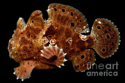 Reef Fish Posters - Warty Frogfish Poster by Danté Fenolio
