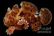 Dante Fenolio - Warty Frogfish