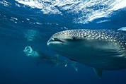 Mouth Closed Prints - Whale Sharks Print by Alexis Rosenfeld