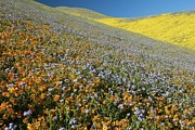 Carrizo Plain Prints - Wildflowers, California Print by Bob Gibbons