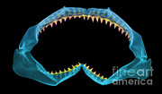 Mako Shark Posters - X-ray Of Shark Jaws Poster by Ted Kinsman