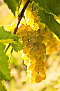 Grape Leaf Photo Prints - Yellow grapes Print by Elena Elisseeva