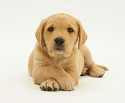 Good Luck Prints - Yellow Labrador Puppy Print by Jane Burton