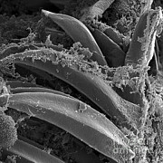 X. Cheopis Posters - Yersinia Pestis Bacteria, Sem Poster by Science Source