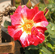 Rose Photos - 4th of July by Alys Caviness-Gober