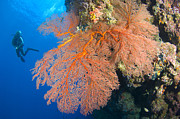 Whip Posters - A Diver Looks On At Large Gorgonian Sea Poster by Steve Jones