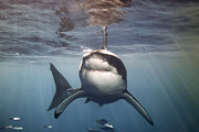 Great White Death Photos - A Great White Shark Swims In Clear by Mauricio Handler