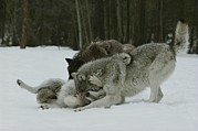 Bonding Metal Prints - A Group Of Gray Wolves, Canis Lupus Metal Print by Jim And Jamie Dutcher