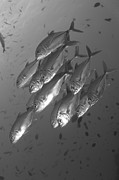 New Britain Framed Prints - A School Of Bigeye Trevally, Papua New Framed Print by Steve Jones
