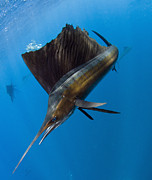 Predating Framed Prints - Atlantic Sailfish Istiophorus Albicans Framed Print by Pete Oxford