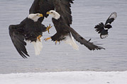 Three-quarter Length Prints - Bald Eagle Haliaeetus Leucocephalus Print by Michael Quinton
