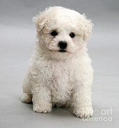 Dog Portraits Photos - Bichon Frise by Jane Burton