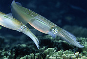 Squid Photos - Bigfin Reef Squid by Georgette Douwma