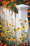 White Picket Fence Framed Prints - Black Eyed Susans Framed Print by June Marie Sobrito