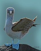 Booby Framed Prints - Blue-footed Booby Framed Print by Larry Linton