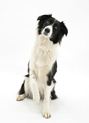 Collie Posters - Border Collie Poster by Mark Taylor