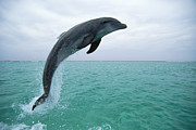 Bottlenose Dolphin Tursiops Truncatus Print by Konrad Wothe