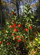 Red Fruits Framed Prints - Butchers Broom (ruscus Aculeatus) Framed Print by Bob Gibbons