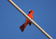 Cardinals. Wildlife. Nature. Photography Photos - 5- Cardinal by Joseph Keane