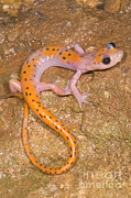 Morph Photo Prints - Cave Salamander Print by Dante Fenolio