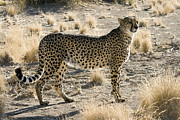 Bigcat Photos - Cheetah by Michal  Sikorski