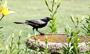 Indiana Flowers Posters - Common Grackle Poster by Jack R Brock