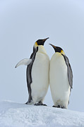 Love The Animal Prints - Emperor Penguin Print by Raimund Linke