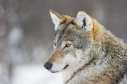 Wild Wolf Prints - European Wolf In Winter Print by Roger Eritja