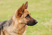Veterinary Prints - German shepherd dog Print by Waldek Dabrowski