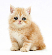 Mark Taylor - Ginger Kitten