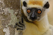 Crowned Head Posters - Golden-crowned Sifaka Propithecus Poster by Pete Oxford
