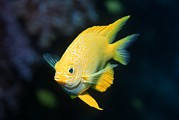 Reef Fish Posters - Golden Damselfish Poster by Georgette Douwma