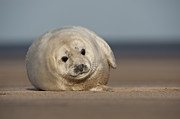 Cold Play Framed Prints - Grey Seal Pup Framed Print by Andy Astbury