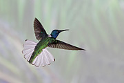 Flying Wild Bird Prints - Hummingbird Print by David Tipling