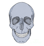 Mental Process Prints - Illustration Of Anterior Skull Print by Science Source