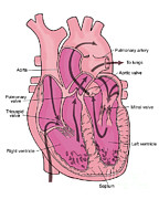Left Ventricle Prints - Illustration Of Coronary Circulation Print by Science Source