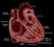 Cava Metal Prints - Illustration Of Heart Anatomy Metal Print by Science Source