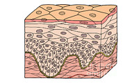 Basal Layer Prints - Illustration Of Stratified Squamous Print by Science Source