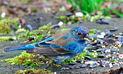 Usa Wildlife Framed Prints - Indigo Bunting Framed Print by Thomas R Fletcher