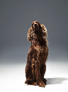 Irish Setter Framed Prints - Irish Red Setter Framed Print by Michael Blann