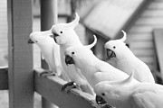Cockatoos Prints - 5 is a Crowd Print by Douglas Barnard