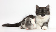 Fluffy Cat Prints - Kitten And Guinea Pig Print by Mark Taylor