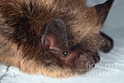 Fauna Metal Prints - Little Brown Bat Metal Print by Ted Kinsman