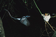 Madagascar National Park Prints - Madagascar Paradise Flycatcher Print by Cyril Ruoso