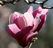 Magnolia World Of Beauty Print by Valia Bradshaw