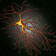 Neurology Art - Nerve Cell by David Becker